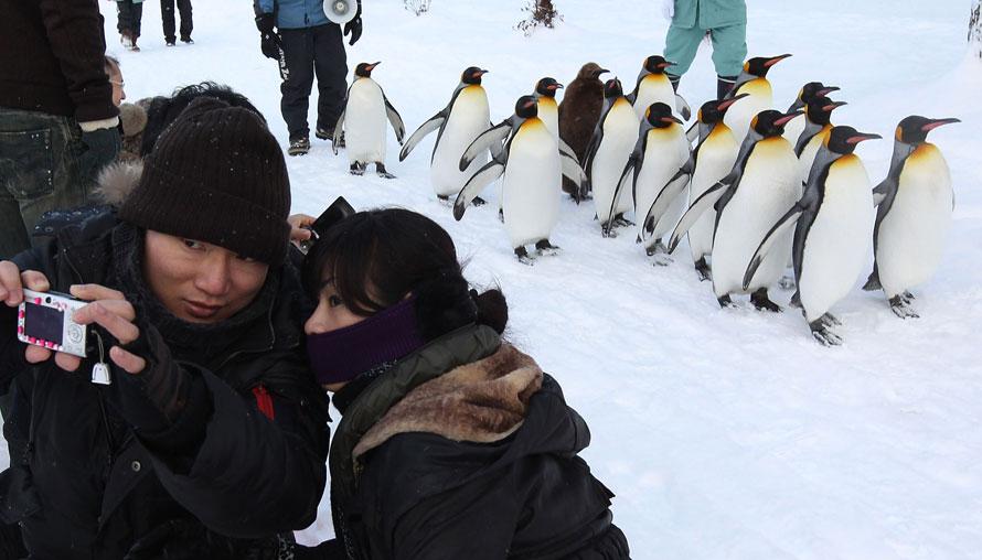 11. Посетители фотографируются с группой королевских пингвинов, которые идут по заснеженной тропинке в зоопарке Асахияма в Асахикаве, Япония. Пингвины прогуливаются каждый день, чтобы возместить недостаток физических упражнений в зимний период. (Photo by Junko Kimura/Getty Images)