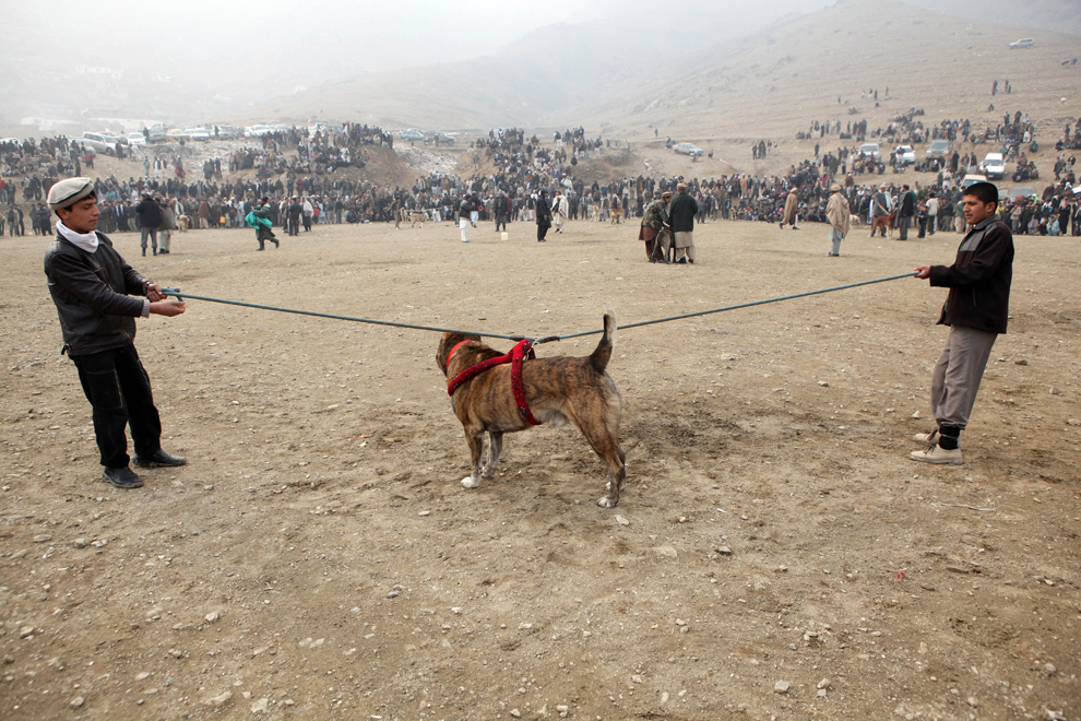 30) Афганцы держат бойцовую собаку на длинном поводке перед началом еженедельных собачьих боев 11 декабря 2009 года в Кабуле. Собачьи бои переживают вторую волну подъема, после того как их запретили талибы, поскольку они противоречат исламу. (Majid Saeedi/Getty Images)
