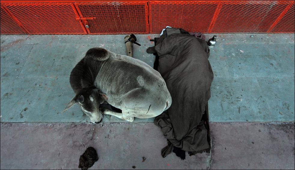 20. Индус спит рядом с коровой недалеко от реки Ганг в Харидваре 16 января во время фестиваля Кумбха Мела. (AFP / Getty Images / Manan Vatsyayana)