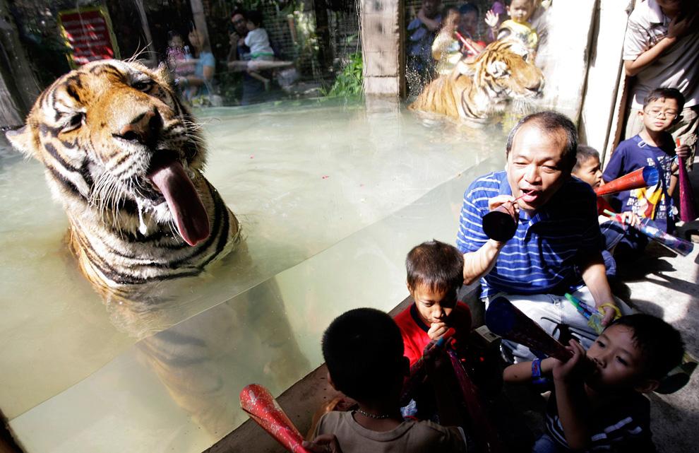 34. Владелец зоопарка Малабун и дети дуют в трубки у стеклянного вольера с бенгальскими тиграми во время празднования Нового года тигра в Маниле 31 декабря 2009 года. (REUTERS/Cheryl Ravelo)