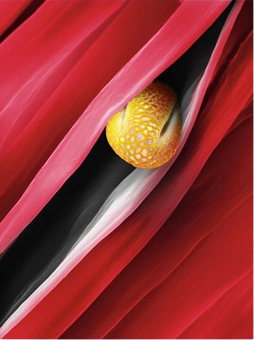 3) Зернышко цветка ивы (Salix caprea) не достигло своей цели. Застряв между лепестками, оно погибнет. Часть пыльцы поднимется в воздух, когда листья ивы заколышутся на весеннем ветру, а некоторые частички принесут на себе пчелы. (Martin Oeggerli)