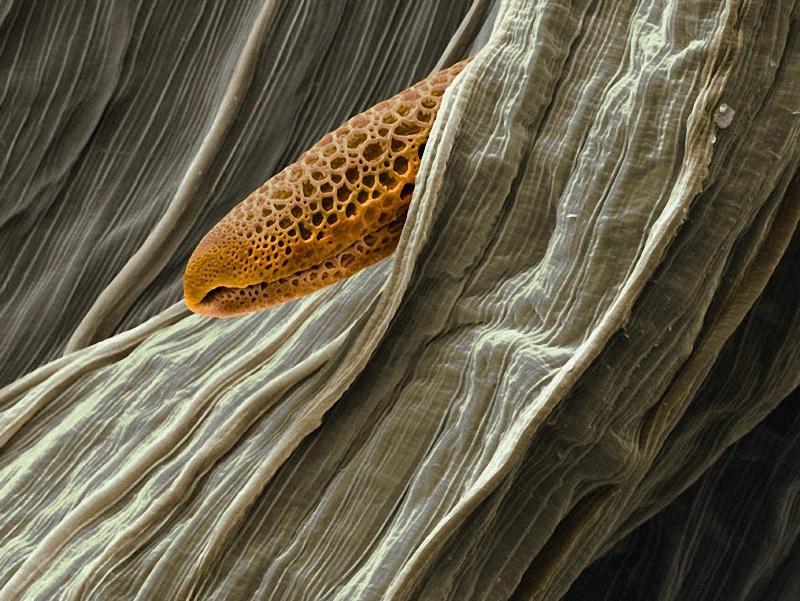 7) Благодаря специальным колючкам, пыльца индийской мальвы (Abutilon pictum) может перемещаться на перьях птиц. (Martin Oeggerli)