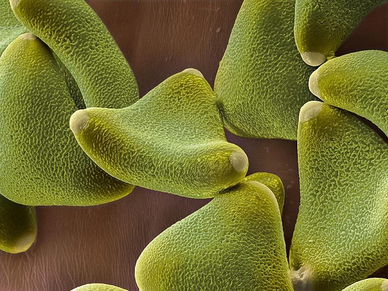 13) Клейкая пыльца левкофиллума (семейство протейные) переносится на животных. (Martin Oeggerli)
