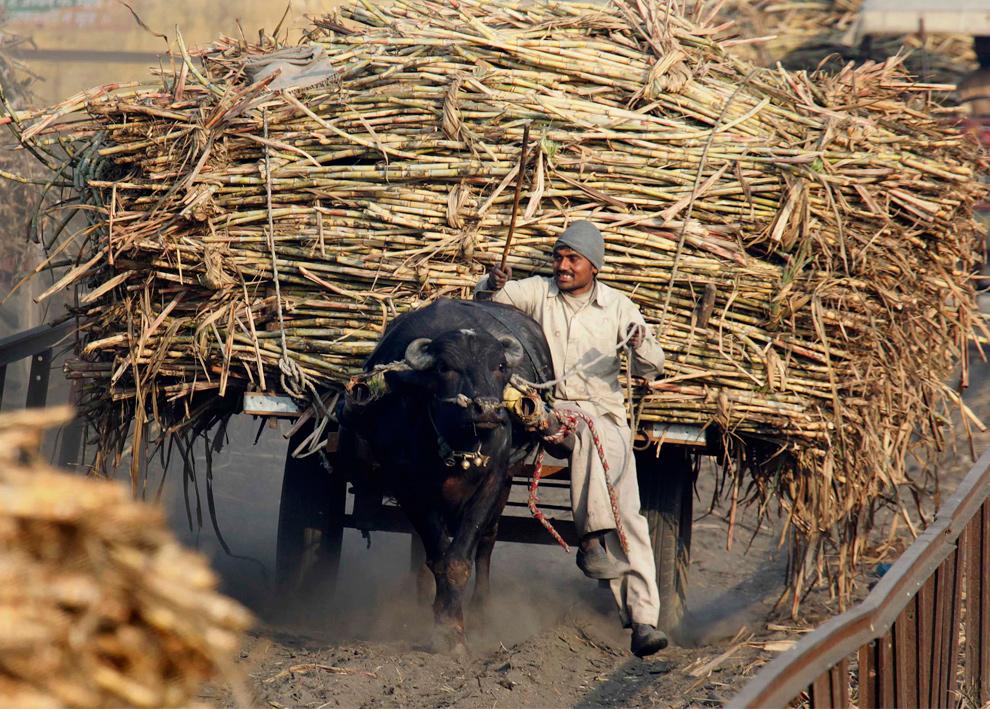 16. Фермер прибыл на телеге, запряженной в быка и загруженной сахарным тростником на завод по производству сахара в Багпхат в Уттар Прадеш, Индия, 20 января 2010 года. (REUTERS/Reinhard Krause)
