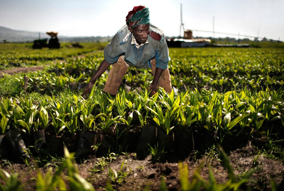 35. Шибуру Шаш выдергивает сорняки на плантации пальмового масла компании «Karuturi Global Ltd.», недалеко от города Бако в Эфиопии 16 октября 2009 года. (Jose Cendon/Bloomberg)