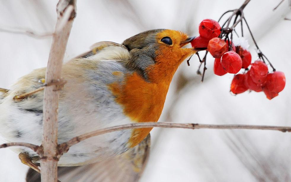 10. Малиновка ест ягоды в городе Нойбекум на западе Гермнаии 5 января. (AFP / Getty Images / Clemens Bilan)