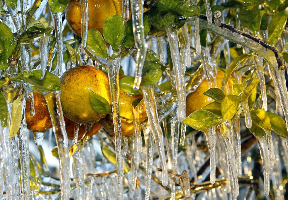 12. Сосульки примерзли к апельсинам 6 января в Лэйкленде, штат Флорида. Фермеры опыляют растения, чтобы защитить от морозов. В этом районе шкала термометра упала до -6, и фермеры делают все, чтобы спасти ценный урожай фруктов и ягод. (AP / Chris O'Meara)