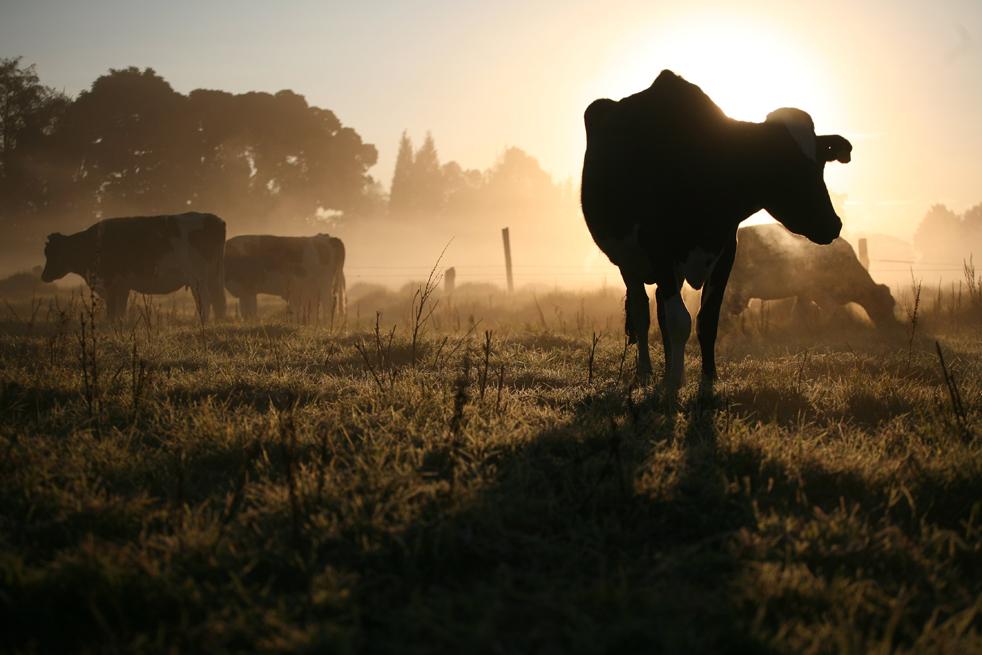14. Коровы пасутся на замерзшем пастбище в Коте на окраине Боготы утром 6 января. В первые месяцы нового года мороз побил урожаи, когда шкала термометра упала ниже нуля в высокогорье Колумбии. (AP / William Fernando Martinez)