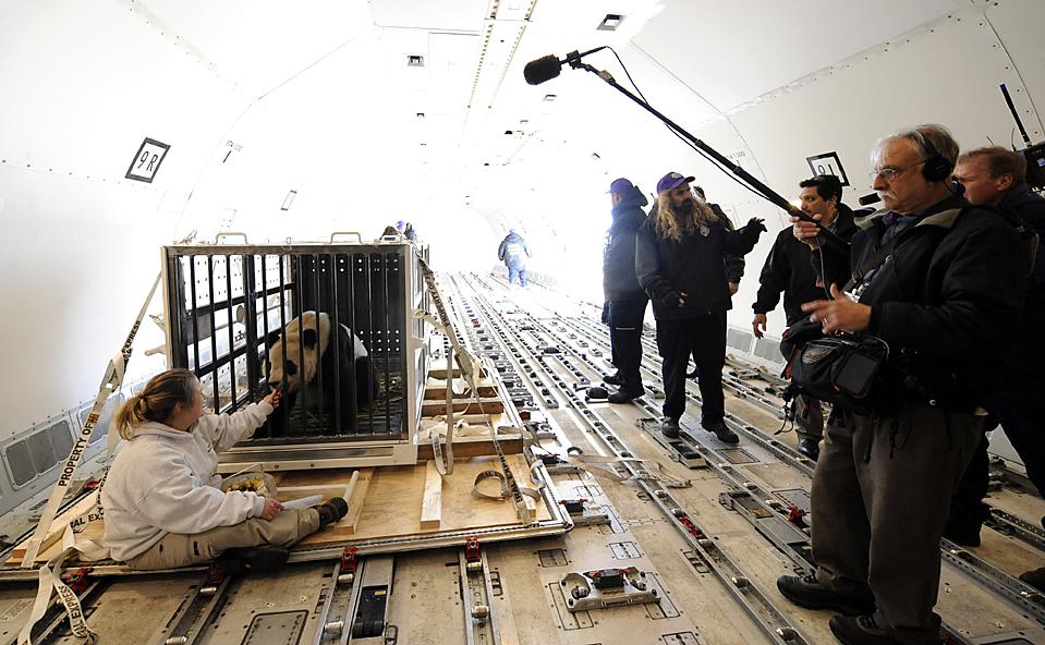 6. Тренер Николь Мисс кормит панду Таи Шан, которого погрузили на грузовой самолет, чтобы перевезти в Китай из Чантилли, штат Вирджиния. (Susan Walsh/Associated Press)