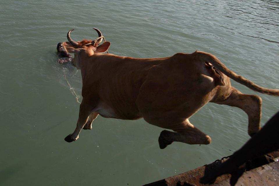 6. Мужчина держит веревку, привязанную к рогам быка, прыгающего с лодки в гавани Порт-о-Пренс. (Rodrigo Abd/Associated Press)