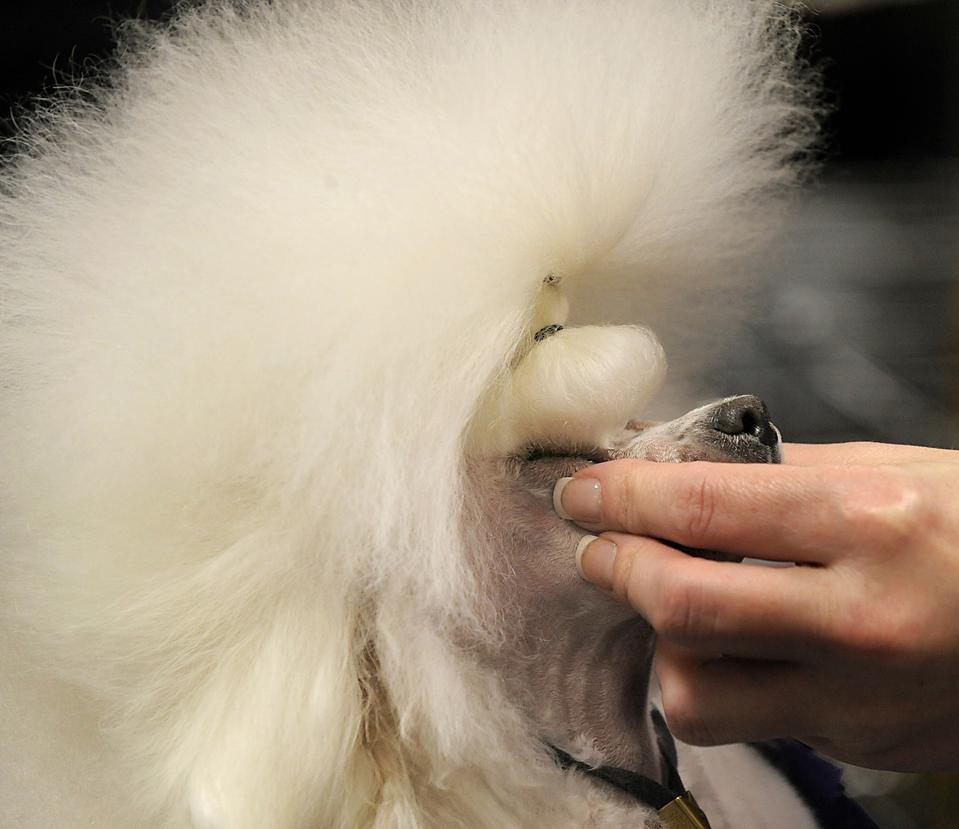 13. Карликового пуделя по кличке Санни причесывают на выставке собак Вестминстер в Нью-Йорке. (Timothy A. Clary/Agence France-Presse/Getty Images)