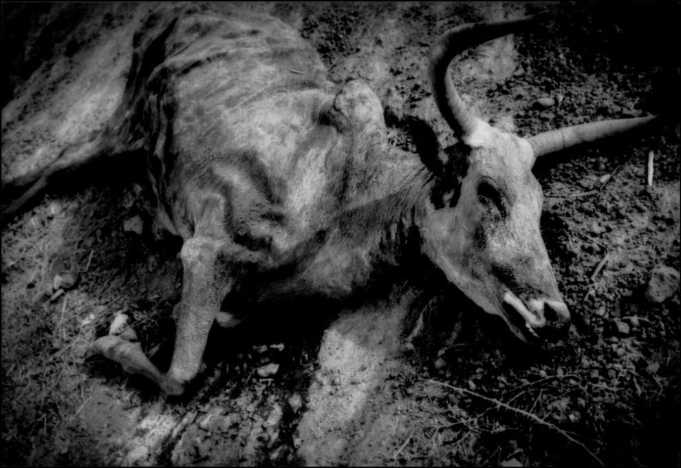 03) Останки буйвола, погибшего во время засухи, Дженн, Мали.