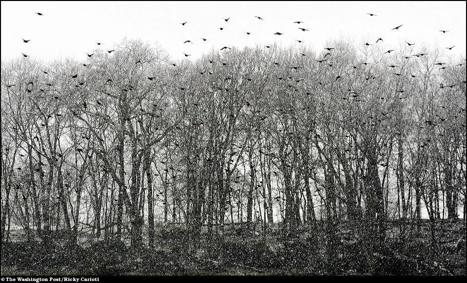 6)  Стая птиц в лесах округа Лоудоун.