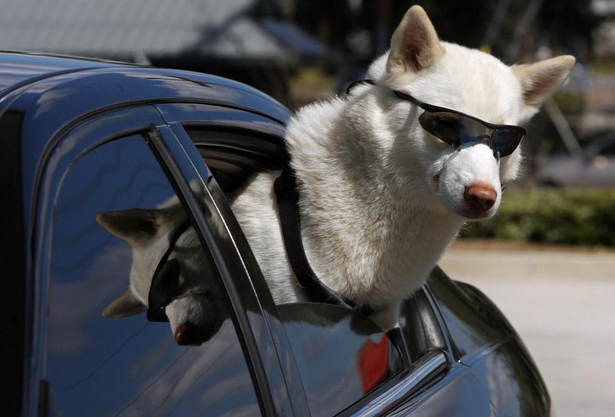 9. В среду было солнечно... но собака в солнечных очках все же привлекала внимание. Эта хаски по кличке Зевс ждала своего хозяина Майка Белла, остановившегося у магазина в Ривервью. Белл говорит, что уже привык в любопытным взглядам и улыбкам, когда берет с собой Зевса. «Невероятно, они даже фотографируют его на светофорах….они поражены». Белл приучил Зевса к очкам еще в детстве, потому что у него «слишком голубые глаза», а у собак этой порода высокий риск получения катаракты. Он привязал очки к голове собаки, чтобы они не падали. (STEPHEN J. CODDINGTON, Times)