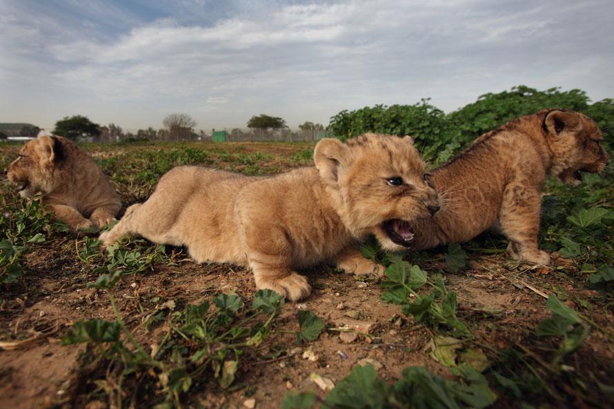 9. Трехмесячные львята исследуют свою территорию во время первого появления на публике недалеко от Тель-Авива. (Photo by David Silverman/Getty Images)
