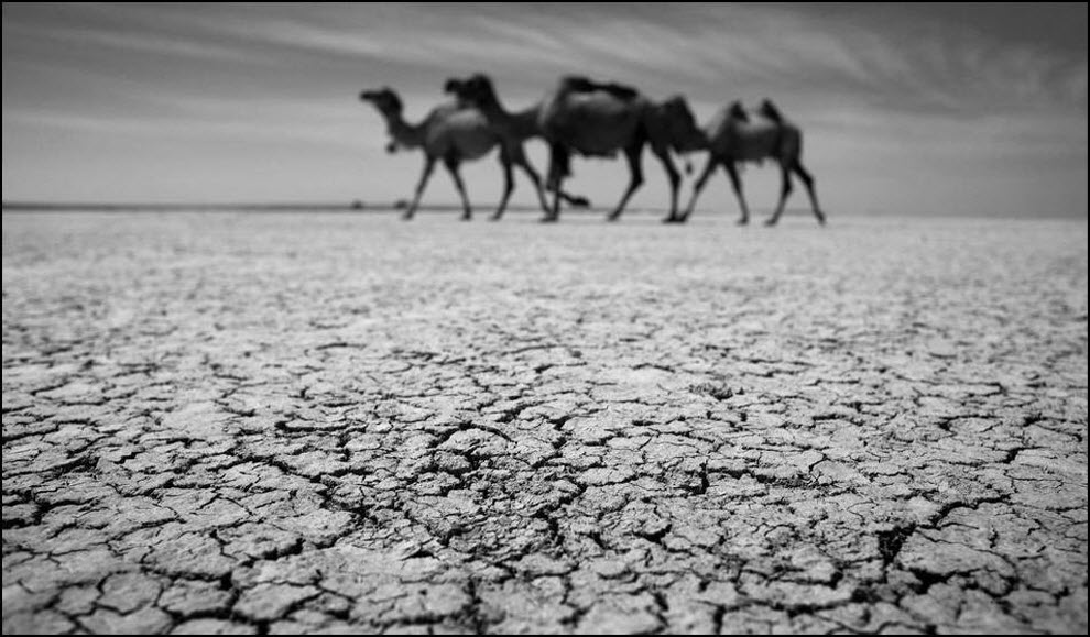 10) Верблюды идут по растрескавшейся земле.