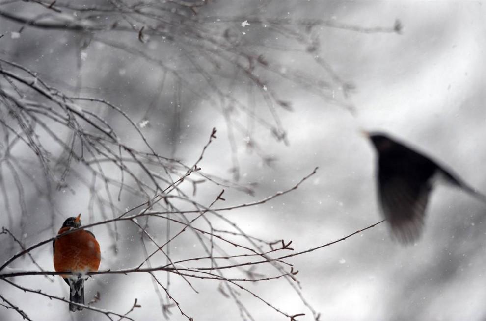 13. Малиновка ищет корм вокруг засыпанного снегом дерева в Сильвер Спринг, штат Мэриленд. (Jewel Samad / AFP - Getty Images)