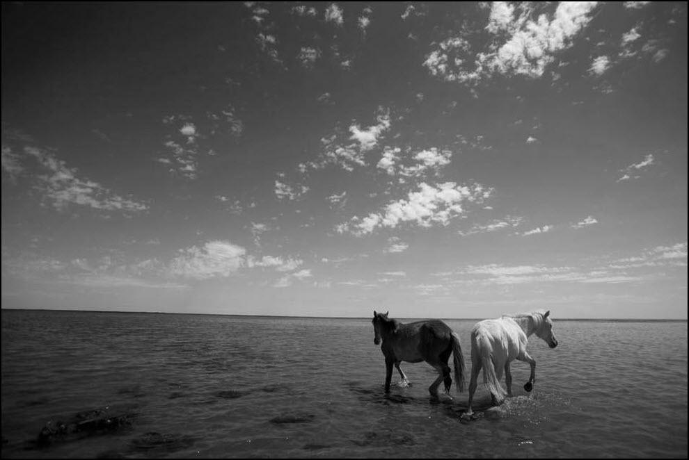 15) Лошади в прибрежных водах Аральского моря.