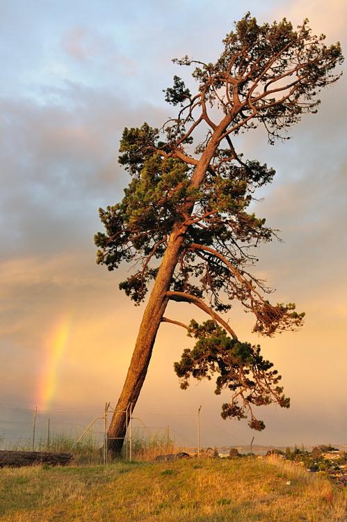 16) Обе каточки сняты во время захода солнца 15 января 2010 года на Голубиной горе (Mt Pigeon) в Окленде, Новая Зеландия. Необычность этой радуги в том, что дождя не было ни до, ни после заката, но практически горизонтальные лучи солнца каким-то образом выбивали спектр из воздухе