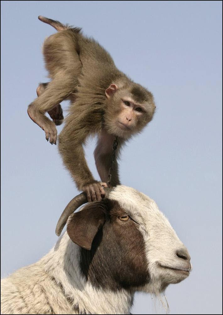 24) Обезьяна забралась на голову овцы на выступлении по случаю Китайского нового года. (Reuters/Christina Hu)