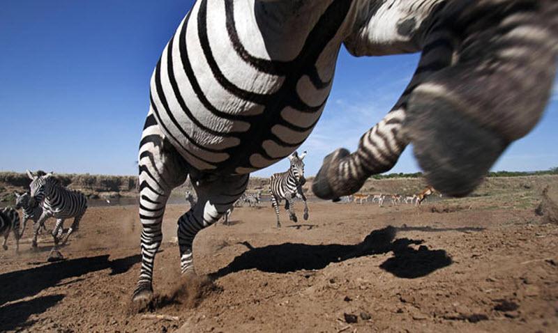 Охота на зебр