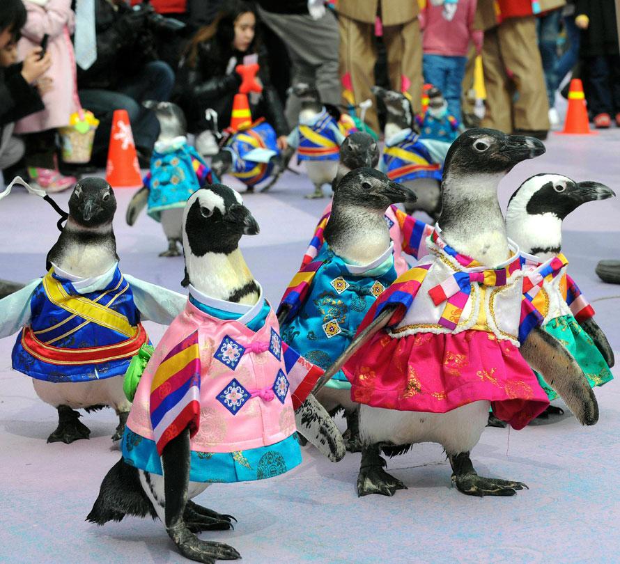 6) Пингвины в традиционных корейских нарядах во время празднования лунного Нового года в развлекательном парке «Эверлэнд» в Йонъине, Южная Корея. (AP Photos/Yonhap)