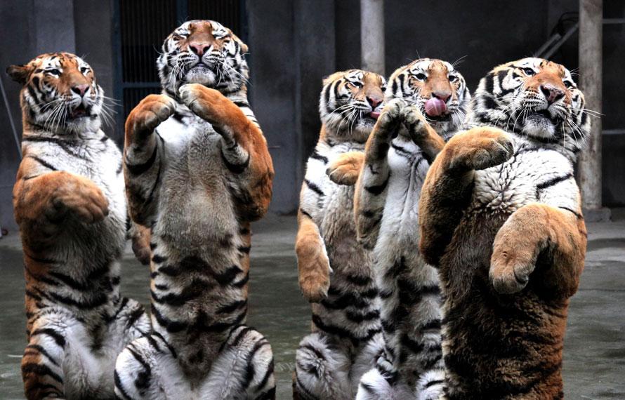 4) Сибирские тигры приветствуют зрителей в зоопарке на второй день китайского нового года в Фучжоу, провинция Фуцзянь. (AP Photo)
