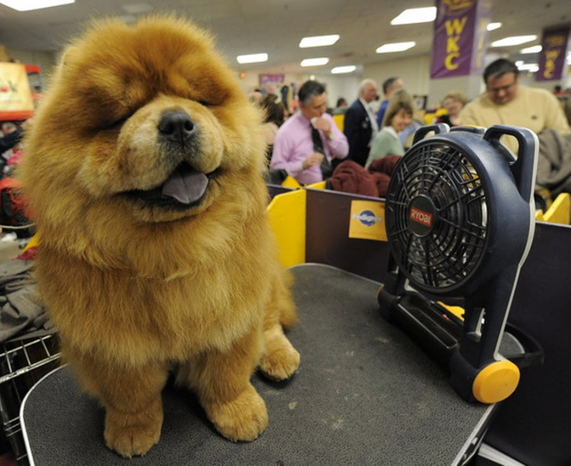 Престижная выставка собак
