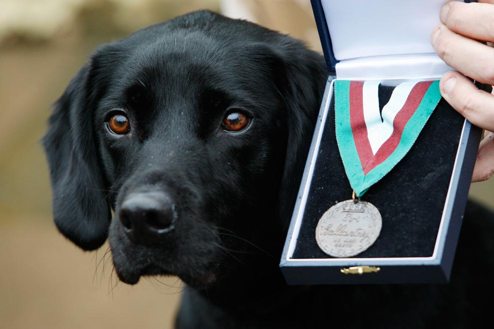 24. Восьмилетний черный лабрадор Трео получил медаль Марии Дикин за храбрость и участие в боевых действиях. Это высшая военная награда для животных. Она была вручена Трео за помощь в обнаружении взрывных устройств в Афганистане. (AP Photo/Sang Tan)