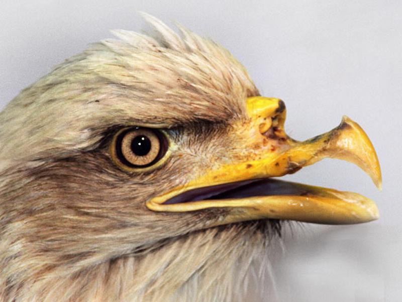 5. Белоголовый орлан серьезно повредил клюв во время охоты о тяжелые рыболовные лески на берегу Аляски. Он был пойман и доставлен в ветлечебницу при учебном центре в Анкоридже.  (Фото: CATERS)