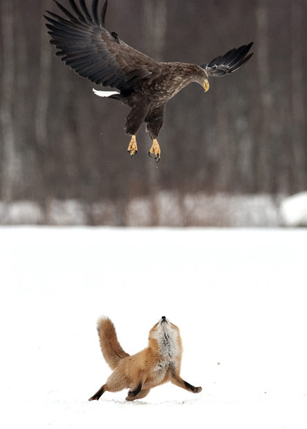 6. Северная рыжая лисица гонится за орланом-белохвостом в Акане, на севере Японии. (фото: EPA)