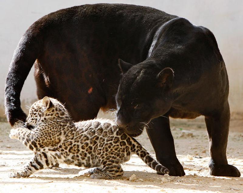 8. Мы привыкли видеть ягуаров с пятнистым окрасом шерсти, но среди животных тоже бывают исключения.  (фото: REUTERS)