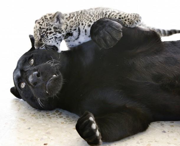 7. Лоло, черный ягуар, играет с новорожденным нормальным пятнистым детенышем внутри своей клетки в зоопарке Ядуда, Иордания. (фото: REUTERS)