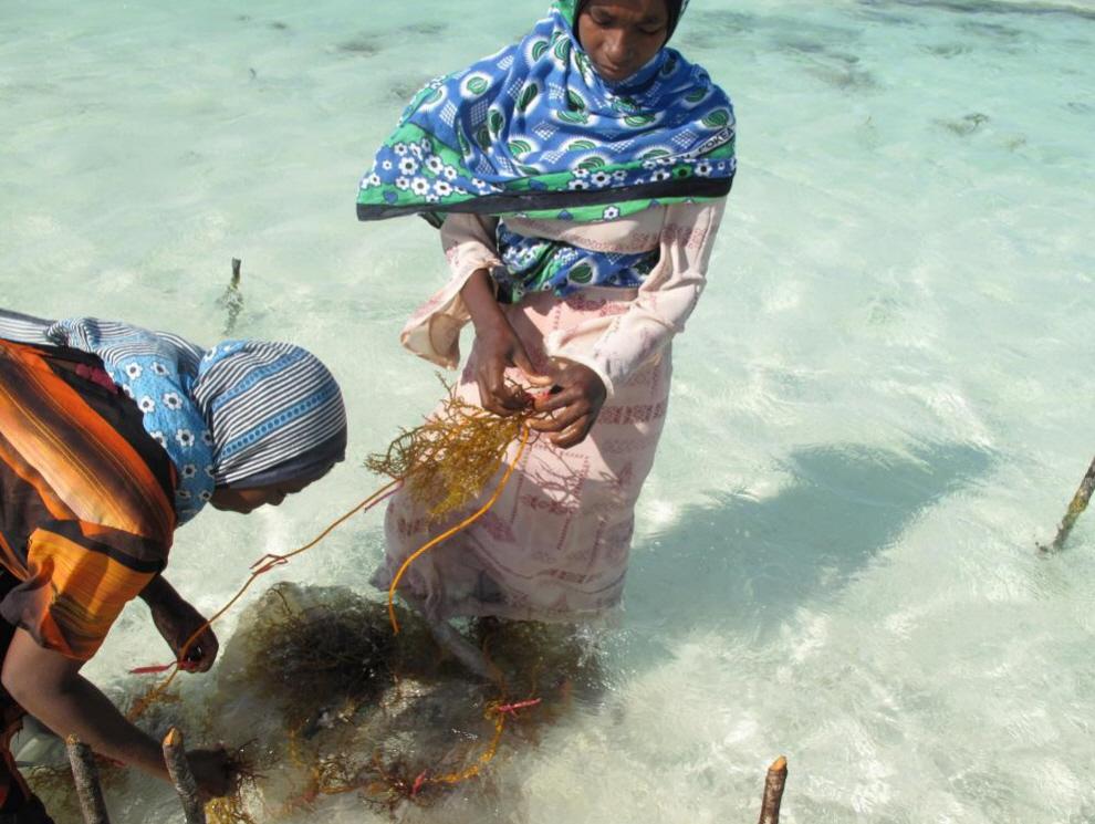 5. Сегодня около 3% населения Занзибара занимается обработкой морских водорослей, а это, в свою очередь, составляет приблизительно 20% заработка от их экспорта. (Joanna Lipper)