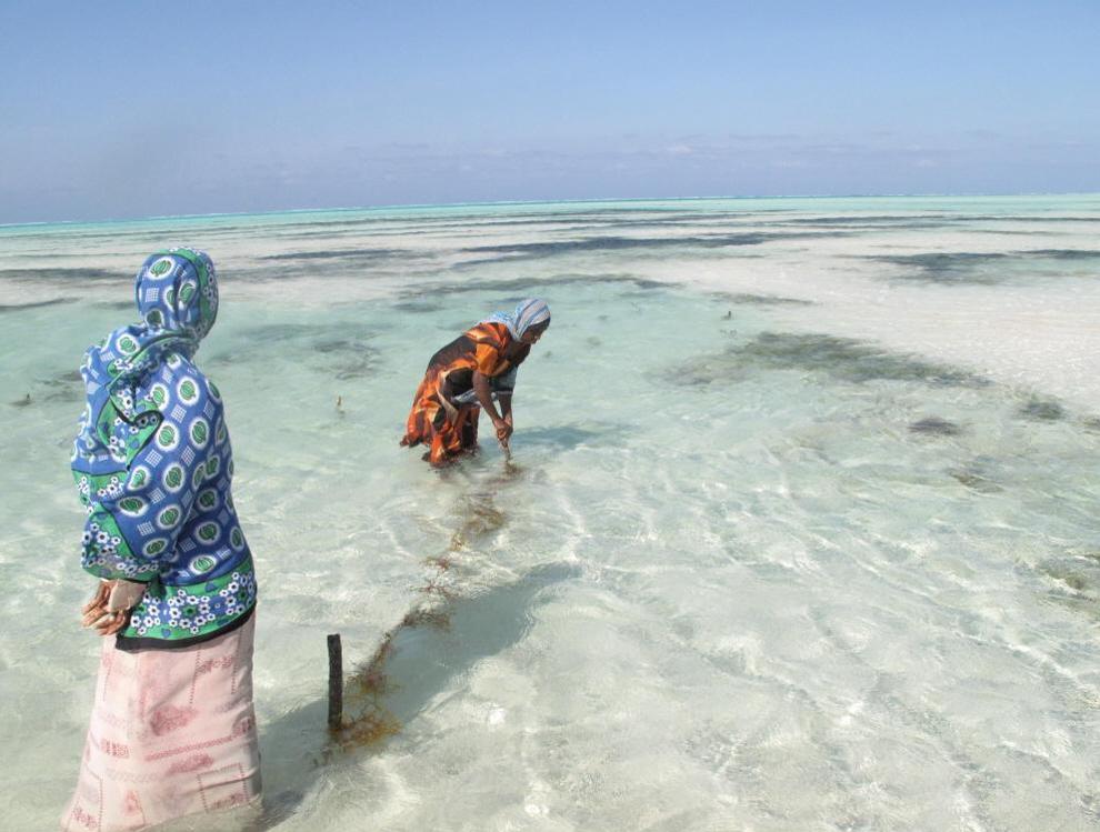 6. Тонкая нить, соединяющая сборщиков морских водорослей на Занзибаре с мировой экономикой, стала еще тоньше из-за повышения уровня бедности и того, что экологическая и экономическая деятельность, такая как сбор морских водорослей, не поддерживается. (Joanna Lipper)