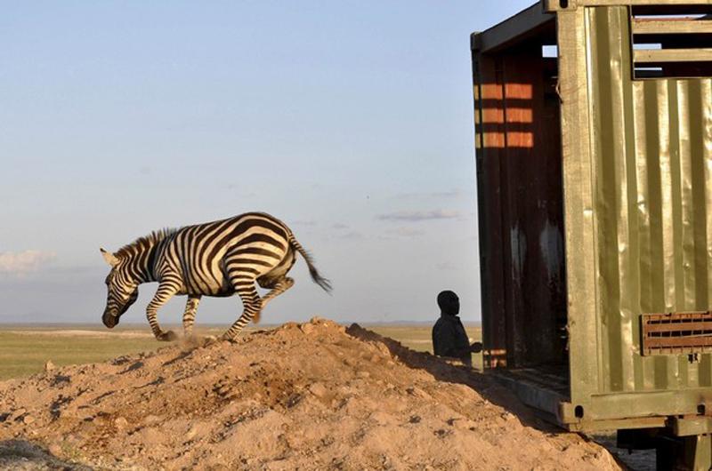 1.На свободу. Зебра выпущена на волю в пустыне Национального парка Амбосели, Кения. Зебры и антилопы гну пратически исчезли в пустыне Асбосели в результате истребления местным населением, засухой и другими хищниками. (фото: Reuters Pictures)