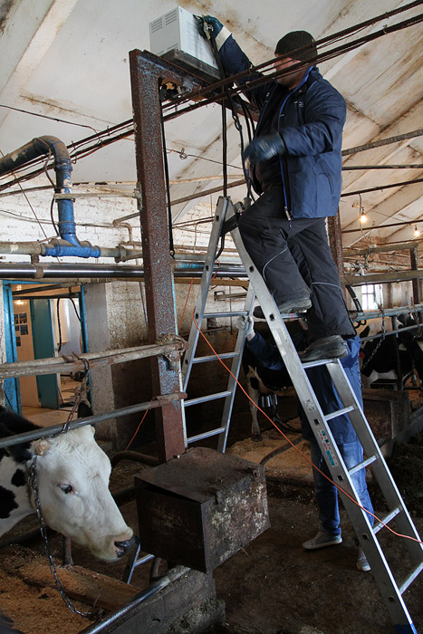 vacas de Moscu