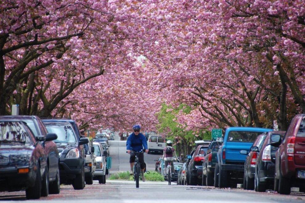 17 990x658 Фестиваль цветения вишни