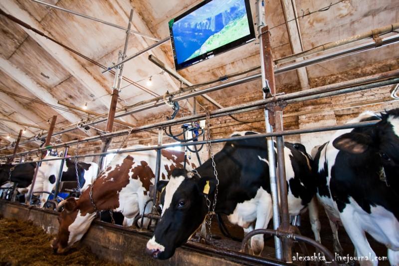 Новости коровьей жизни
