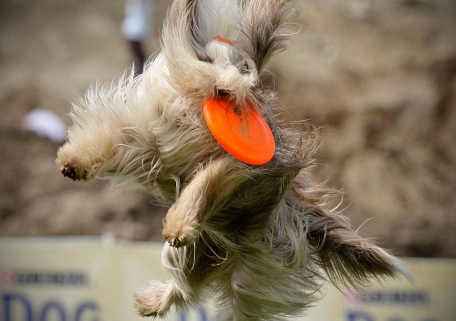 Чемпионат мира по ловле диска фризби собаками