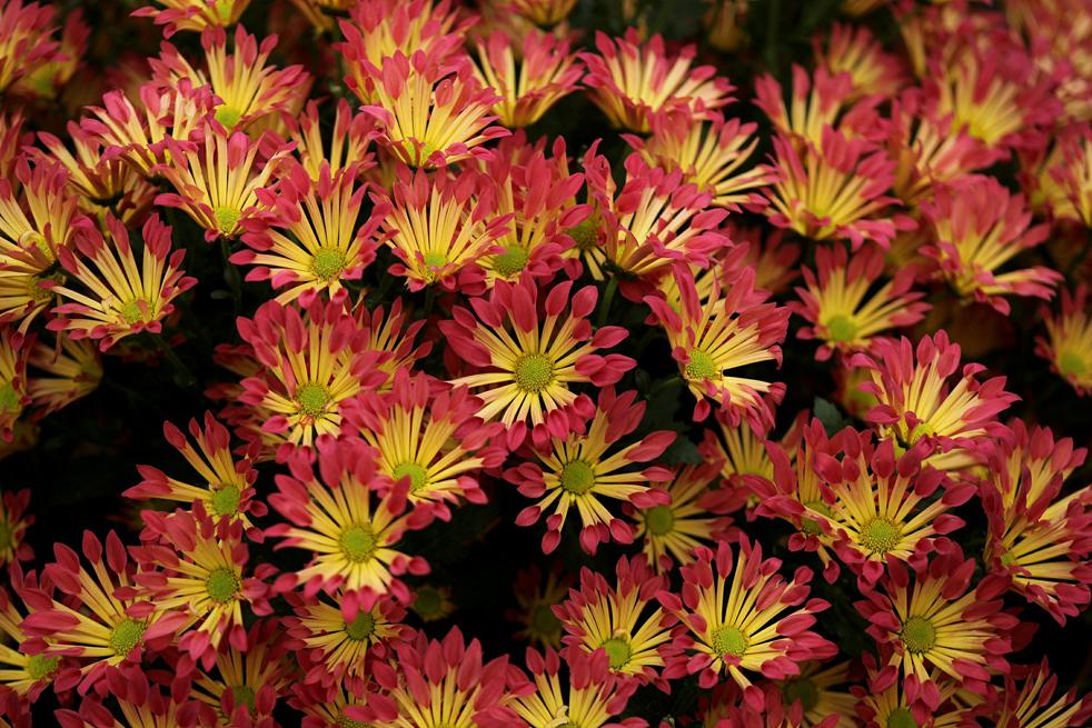 flowers6 Королевская выставка цветов в Челси