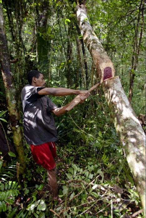 Madagascar02 незаконная вырубка лесов на
