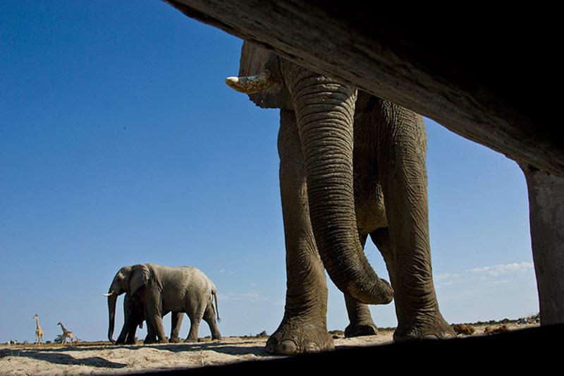 Африканские слоны: видснизу