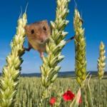 Мышки-малютки: тайная жизнь в полях