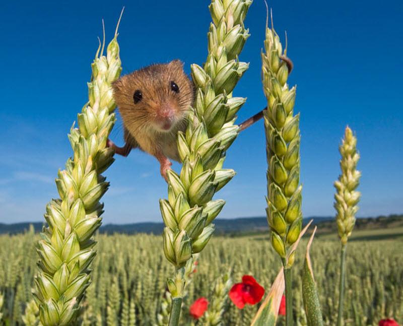 Мышки-малютки: тайная жизнь вполях