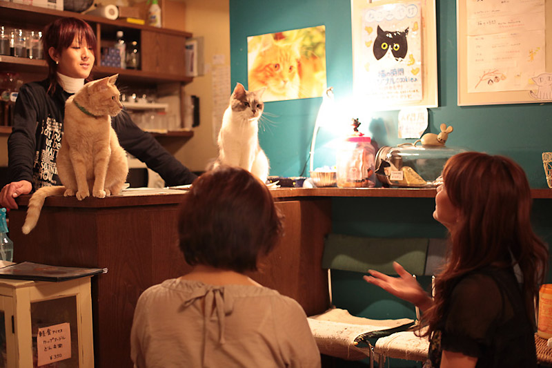 Кото-кафе в Осаке