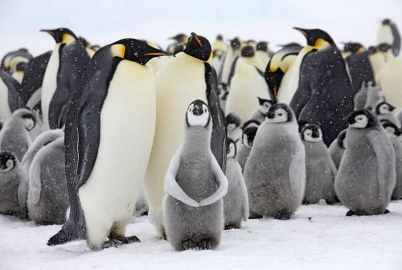 В гости к императорским пингвинам