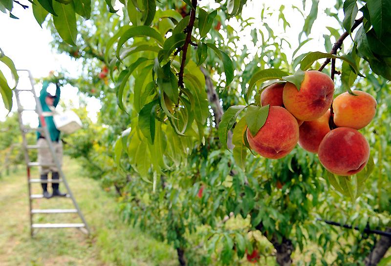 0422 Изготовление персикового бренди