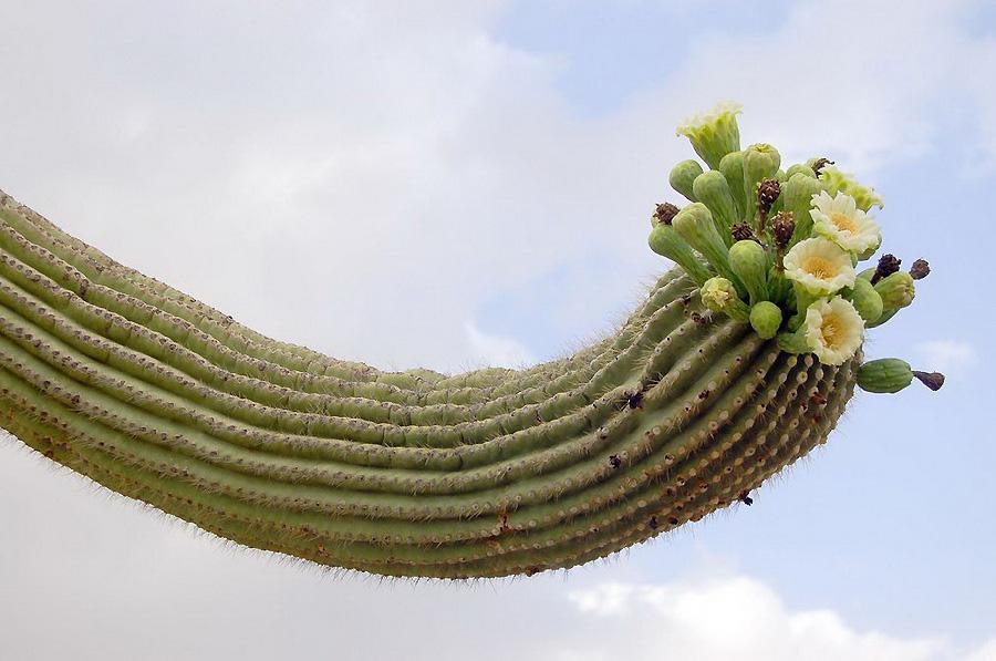 0 23b72 Гигантские кактусы Сагуаро