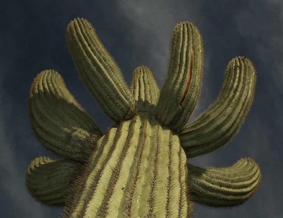 0 23b8b Гигантские кактусы Сагуаро